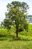 Nyazeeländska lantliga träd Arkivfoton
