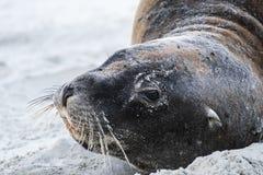 Nyazeeländska sjölejon på stränderna nära Dunedin i den Otago halvön royaltyfri fotografi