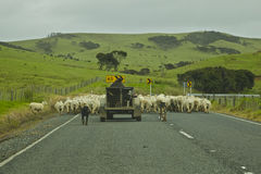 Nyazeeländskt fårlantbruk royaltyfri fotografi