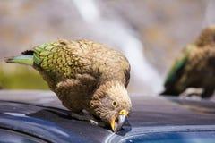 Nyazeeländskt Kea papegojaförsök att bryta bilen Royaltyfri Foto