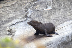Nyazeeländsk pälsskyddsremsa (arctocephalusen Forsteri) Arkivfoto