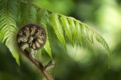 Nyazeeländsk fern Koru Royaltyfri Fotografi