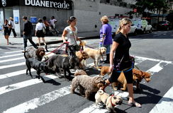 NYC: Cão Wakers na segunda avenida fotografia de stock