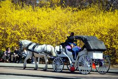 NYC: Hansom Cab in Central Park. One of NYC's famed hansom cabs drawn by a white horse passes a bank of yellow Forsythia flowers on a Spring day at Cherry Hill stock photos
