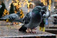 NYC pigeon Stock Photos