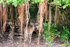 Nyckel- hjortar med den Shorteaf fikonträdet arkivbilder
