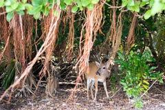 Nyckel- hjortar med den Shorteaf fikonträdet Royaltyfri Foto