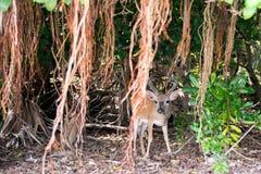 Nyckel- hjortar med den Shorteaf fikonträdet Arkivbild