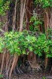 Nyckel- hjortar med den Shorteaf fikonträdet Royaltyfria Foton