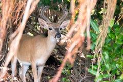 Nyckel- hjortar med den Shorteaf fikonträdet Arkivfoto