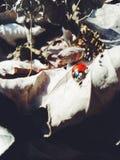 Nyckelpiga av oktober Royaltyfria Foton
