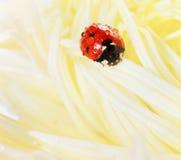 Nyckelpiga eller nyckelpiga i vattendroppar på en gul höstblomma av aster Royaltyfria Bilder