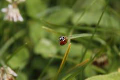 Nyckelpiga i en trädgård i sommar som är klar att flyga arkivbild