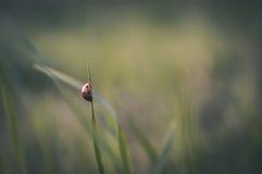 Nyckelpiga i gräset Royaltyfri Bild