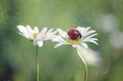 Nyckelpiga och blomma Fotografering för Bildbyråer