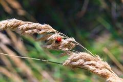 Nyckelpiga och en spindel på gå i ax arkivfoto