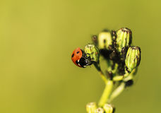 Nyckelpiga och myror Arkivfoto