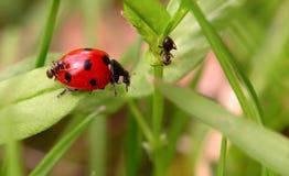 Nyckelpiga och myror på ett grönt blad Arkivfoto
