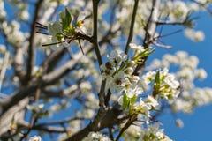 Nyckelpiga- och päronträd Royaltyfri Fotografi
