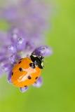 Nyckelpiga på blomma Arkivfoto