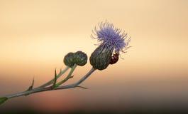 Nyckelpiga på blomma Arkivfoton