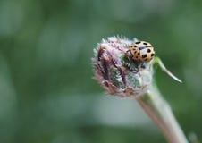 Nyckelpiga på blommaknoppar Arkivfoto