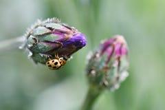 Nyckelpiga på blommaknoppar Arkivfoton
