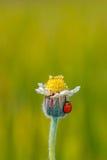 Nyckelpiga på blomman av gräs Royaltyfri Fotografi
