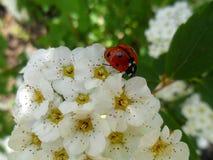 Nyckelpiga på blommorna fotografering för bildbyråer