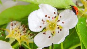 Nyckelpiga på blomningpäron som roterar på en vit bakgrund Video 360 lager videofilmer