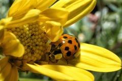 Nyckelpiga på de gula blommorna Arkivfoton