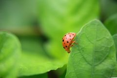 Nyckelpiga på den gröna bladväxten, slut upp royaltyfri fotografi