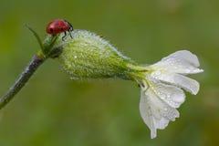 Nyckelpiga på den vita blomman för Saponaria Fotografering för Bildbyråer