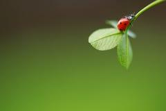 Nyckelpiga på det gröna bladet Arkivfoto