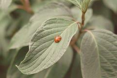 Nyckelpiga på det gröna bladet och grön oskarp bakgrund royaltyfri foto