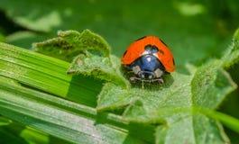 Nyckelpiga på en bladnärbildmakro Royaltyfria Foton