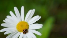 Nyckelpiga på en blomma stock video