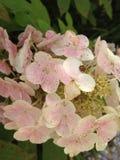 Nyckelpiga på en blomma Fotografering för Bildbyråer