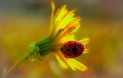 Nyckelpiga på en blomma Royaltyfria Bilder