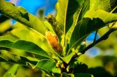 Nyckelpiga på en leaf Royaltyfri Foto