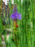 Nyckelpiga på en purpurfärgad blomma Arkivbilder
