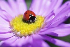 Nyckelpiga på en purpurfärgad tusensköna Royaltyfria Bilder