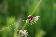 Nyckelpiga på en stjälk av gräs Royaltyfri Fotografi