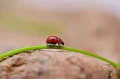 Nyckelpiga på en tråd av gräs Royaltyfria Foton