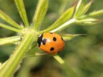 Nyckelpiga på en växt Fotografering för Bildbyråer