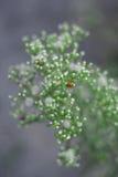 Nyckelpiga på en växt Royaltyfria Foton