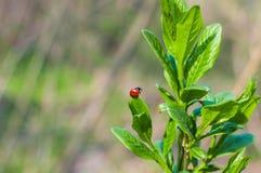 Nyckelpiga på ett grönt blad på naturlig bakgrund Royaltyfri Foto