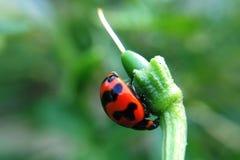 Nyckelpiga på gräsblomman Royaltyfria Bilder