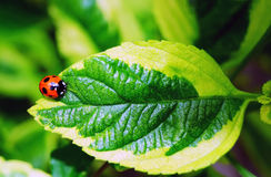 Nyckelpiga på grön naturbakgrund Arkivfoton