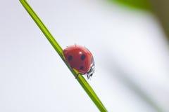 Nyckelpiga på grönt gräs Royaltyfri Bild